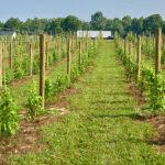CNY's Newest Vineyard
