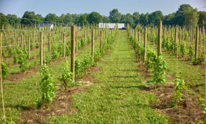 Read more about the article CNY's Newest Vineyard